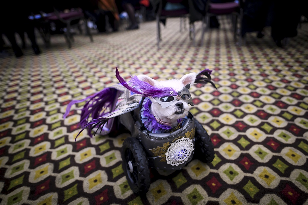 A dog, dressed up for a show, sits backstage at th