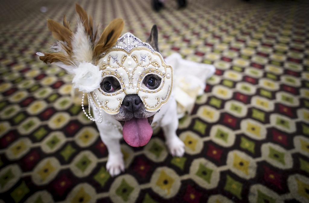 A dog dressed up for a show sits backstage at the