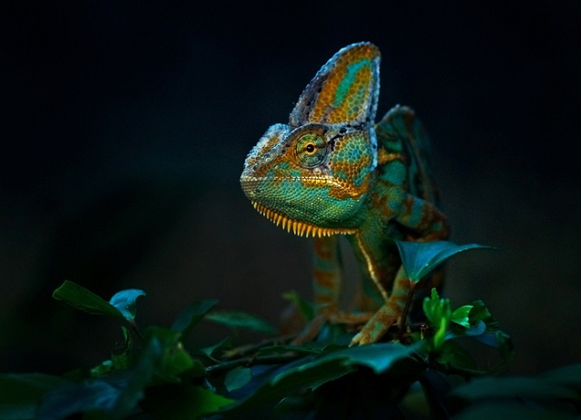Yes, chameleons do change colour when they sleep, but we think it happens in a different way to when they're awake.
