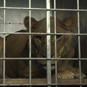 Motan and Pisa, two of the rescued lions, travelled thousands of kilometres from Rafah Zoo to their new home, Lionsrock, in the Free State.