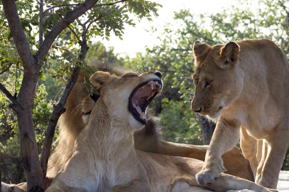 Fatal lion attack: Family 'at peace' after man killed by his