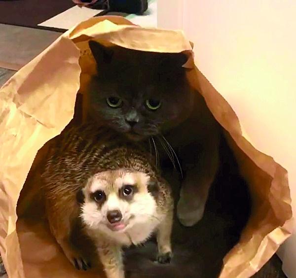 meerkat en kat