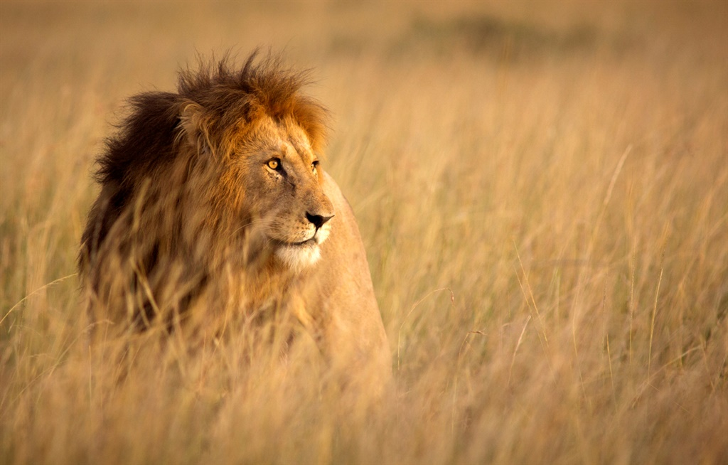 Manhunt launched after five lions killed on Northam farm