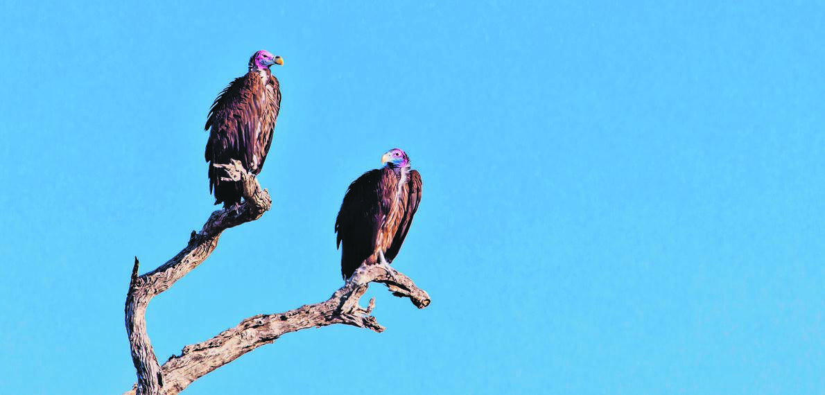 Two White Backed Vultures on Dead Branch.