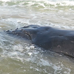 The approximately 16 tonne, 10,2 m male humpback whale, stranded at Hickman's River, east of Cove Rock in East London on Monday, has died.