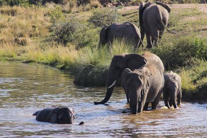 elephants swimming in a dam