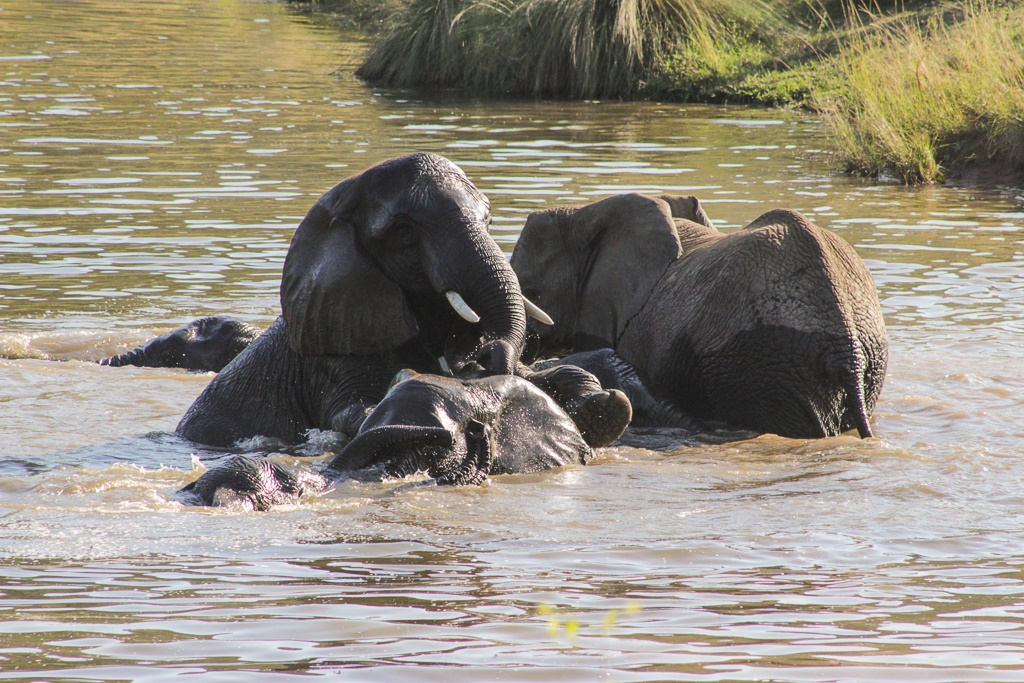 elephants swimming in a dam