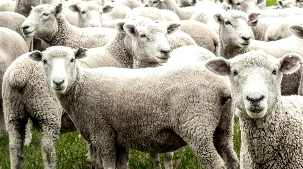 A flock of curious sheep.