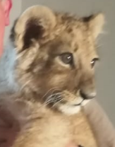 News24.com | Police complaint laid against CapeNature for euthanising lion cub found in Cape Town home