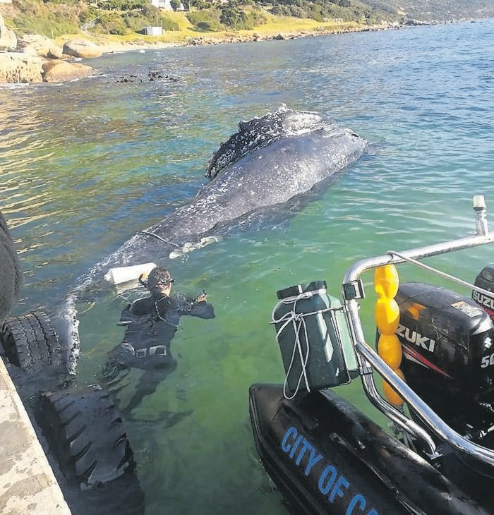 A male Brydes whale was killed in an octopus fish trap last month, costing ratepayers about R50 000 to dispose of.