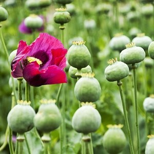 Blossoming opium plant