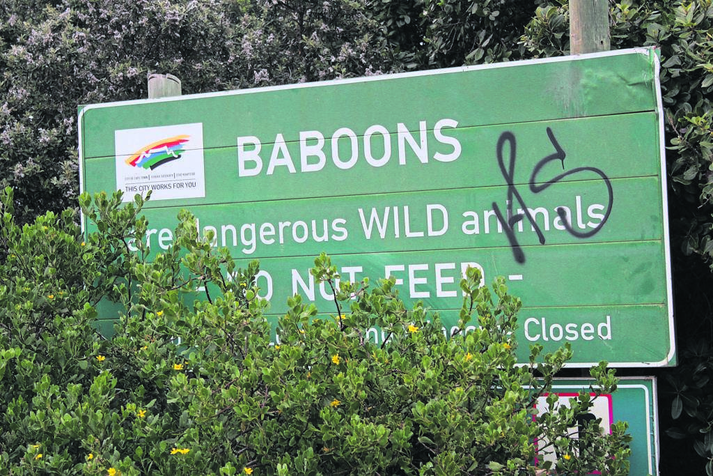 Baboons are a natural fixture of the Cape Peninsula and residents are pleading for them to be treated as natural inhabitants, and not euthanised.PHOTO: Racine Edwardes