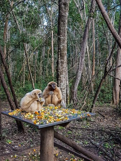 gibbons eating fruit in a sanctuary