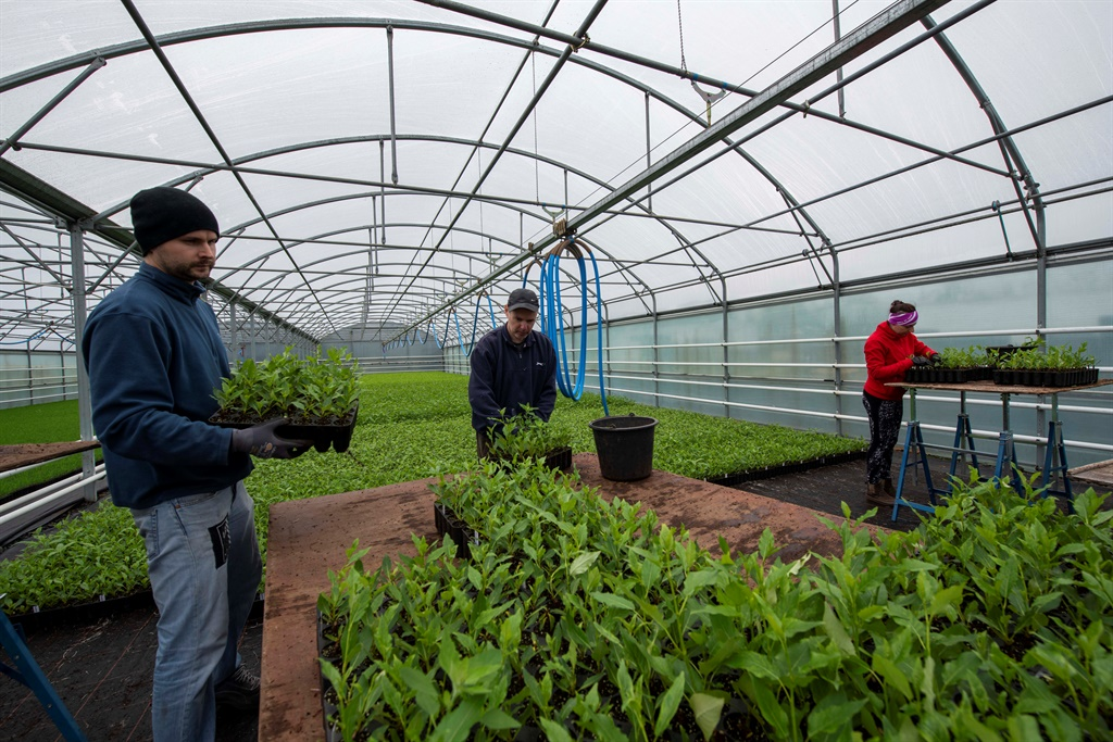 Workers transplant saplings at Kvistar greenhouse near Selfoss, southern Iceland before the young trees are planted. (Halldor Kolbeins, AFP)