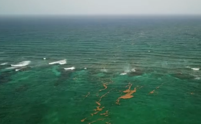 WATCH | Drone footage reveals tons of rotting sargassum