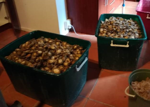 Two people suspected of abalone smuggling will appear in court. (Hawks)