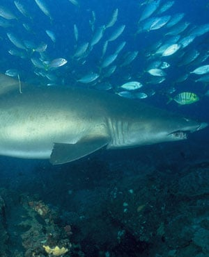 A ragged tooth shark has recaptured after 20 years. (KwaZulu-Natal Sharks Board)