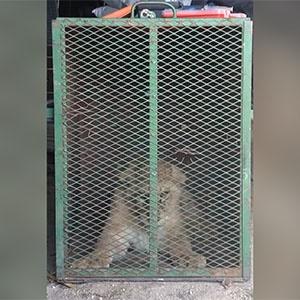 News24.com | KYK: SPCA ontbloot dieremishandeling - leeu, tierkarkasse in vrieskas