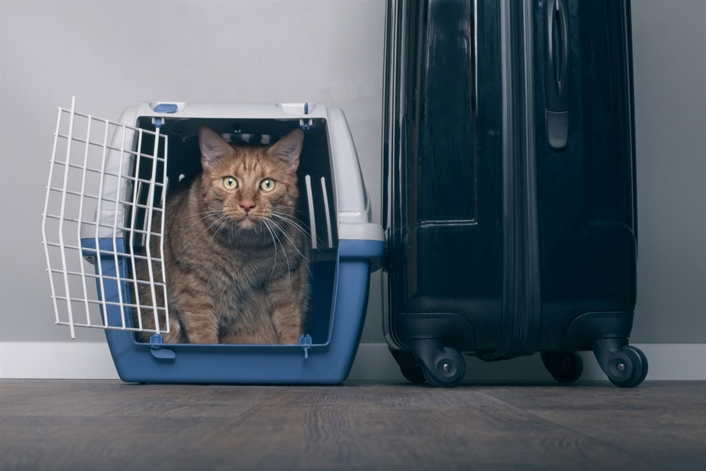 Traveling with a cat - Ginger cat in a pet carrier