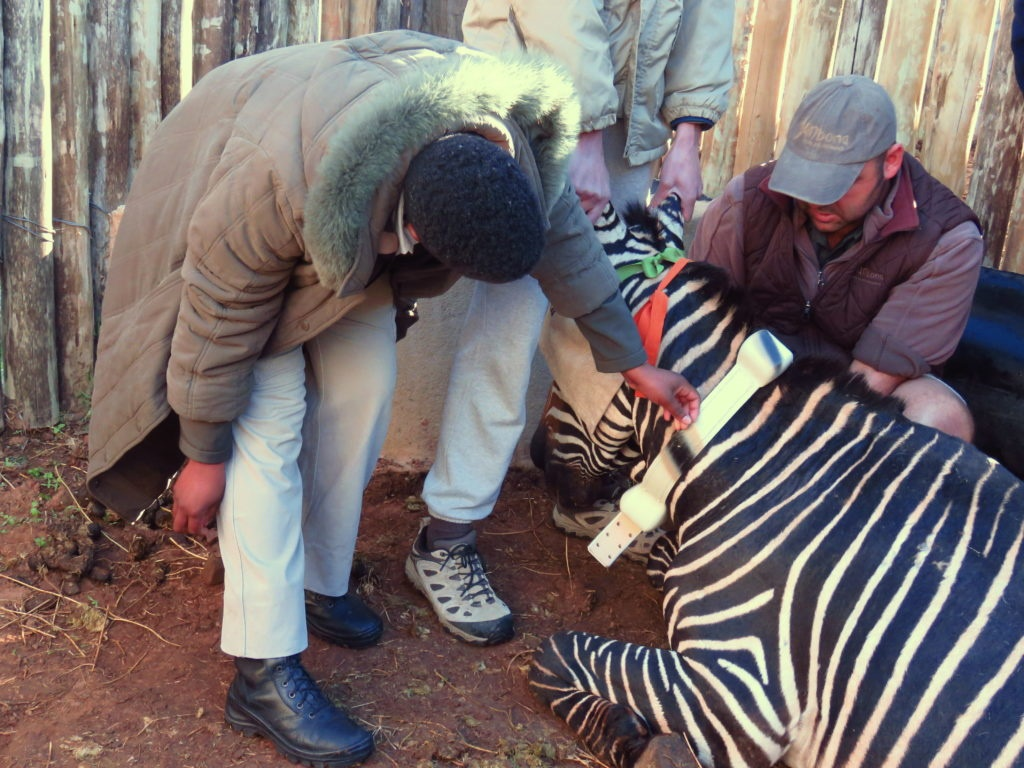 Vet checking out cape mountain zebra