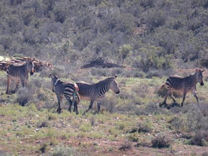 cape mountain zebra herd
