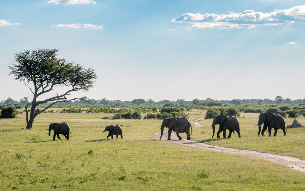 A family of elephants march in a straight line across the landscape of Hwange National Park in Zimbabwe.