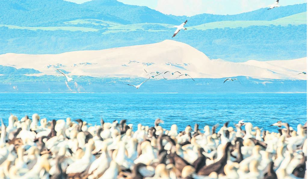 Addo Marine Protected Area protects important feeding areas for the 9 000 pairs of endangered African penguins breeding at St Croix Island and the 60 000 pairs of endangered Cape gannets breeding at Bird Island.               photo:JOHAN BARNARD