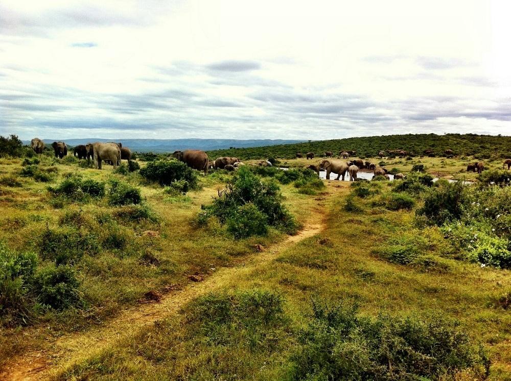 Addo-olifant- nasionale park