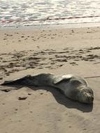 The leopard seal which came ashore on Milnerton beach. (Supplied)