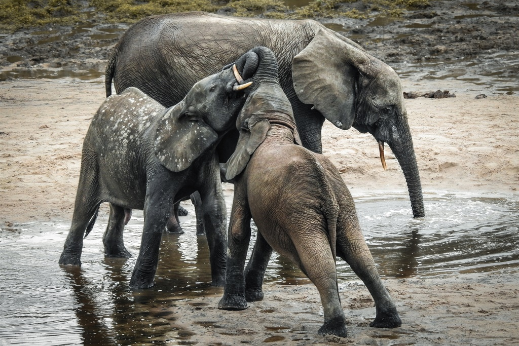 A wild forest elephant and calves bathe in the marshes of in Bayanga Equatorial Forest, part of the Dzanga Sangha Reserve. (Florent Vergnes, AFP)