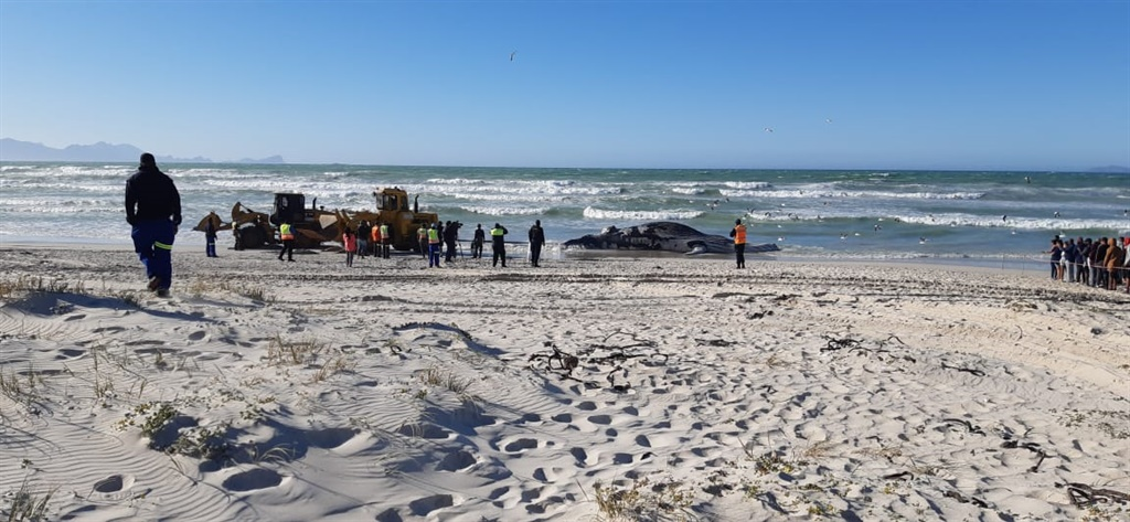 humpback whale removed from Strandfontein beach, C