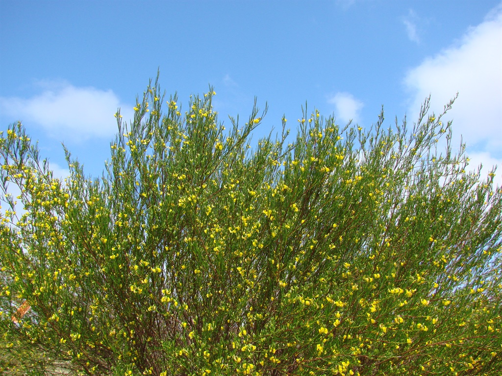 yellow flowers on rooibos bush