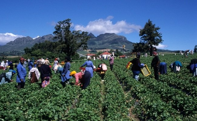 Farmworkers cry foul as 12 years later, they have nothing to show for their investment. Photo: Gallo Images/ Alamy