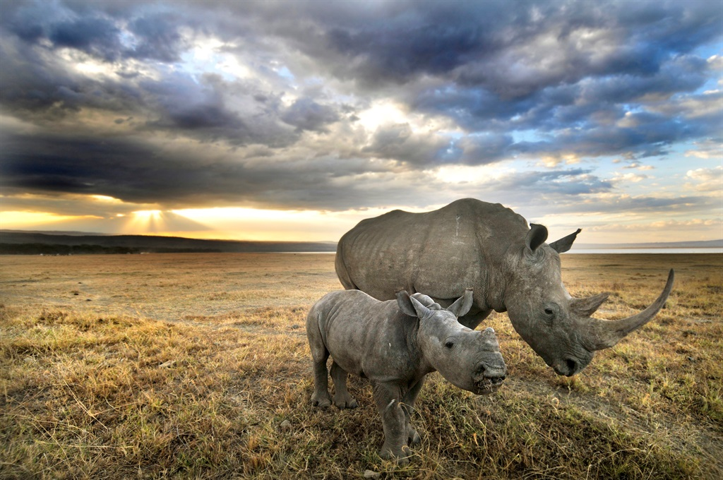 A white rhino and her baby head towards home after a long day of grazing in Nakuru, Kenya.
