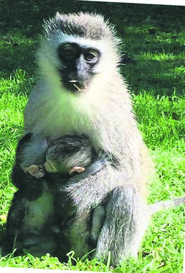 Vervet monkeys were recently visible in the Bay's residential areas.             photo:FACEBOOK