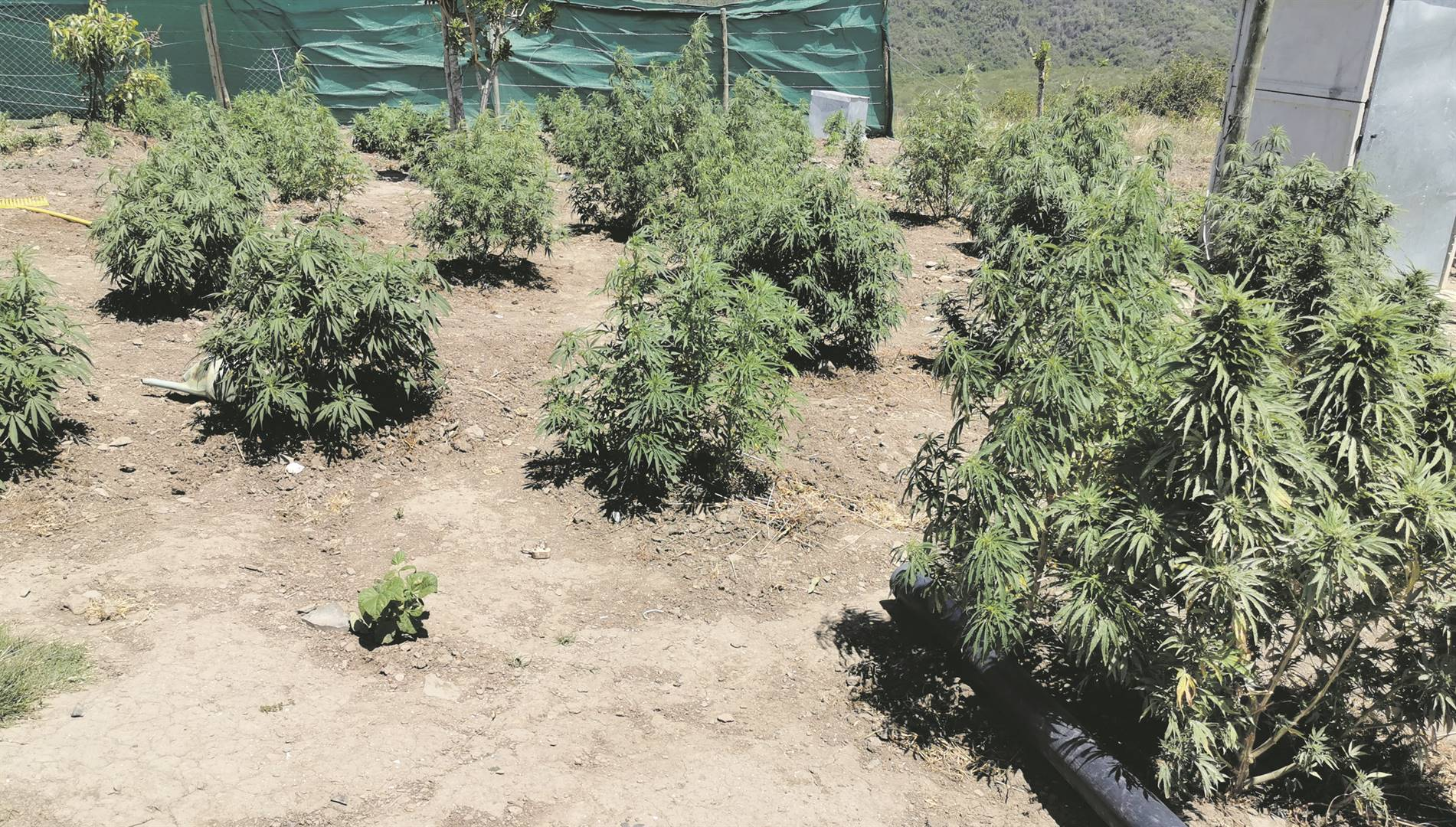 Homegrown weed plants. Picture: Lubabalo Ngcukana