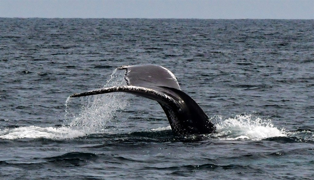 Humpback whale. (Luis Acosta, AFP)
