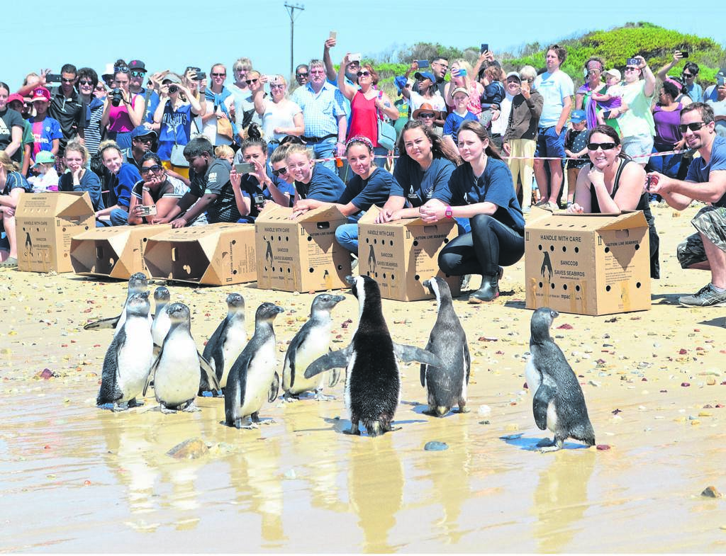 Ten rescued African penguins waddled back to freedom last Saturday to enjoy the surf of the Indian Ocean, after spending months of rehabilitation at the South African Foundation for the Conservation of Coastal Birds (SANCCOB) at Cape Recife. They were affected by the oil spill in Algoa Bay earlier this year. Read the story on page 4.         Photo:HEILIE COMBRINCK