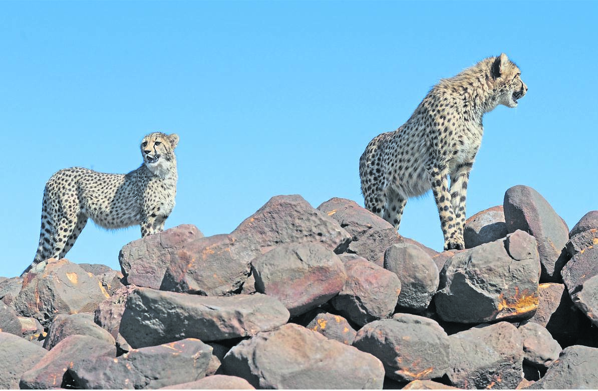 Cheetahs in Nambiti Game Reserve. Lodges in the reserve have gone to court in a battle over municipal rates.PHOTO: Ian Carbutt (file)