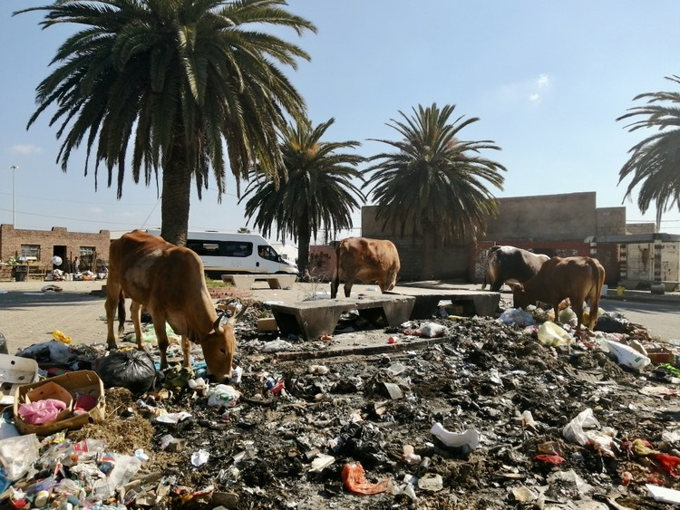 Cows forage in rubbish at the taxi rank at Soweto-on-Sea, Port Elizabeth. (Mkhuseli Sizani, GroundUp)