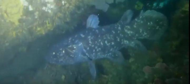 The coelacanth discovered on the South Coast and filmed by the group of divers led by avid KZN diver Andrew 'Moo' Fraser. PHOTO: YOUTUBE