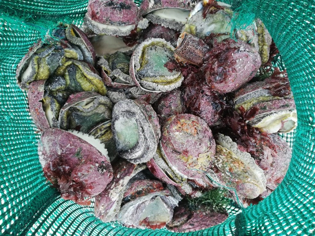 Poachers sentenced for stealing abalone worth millions - News24