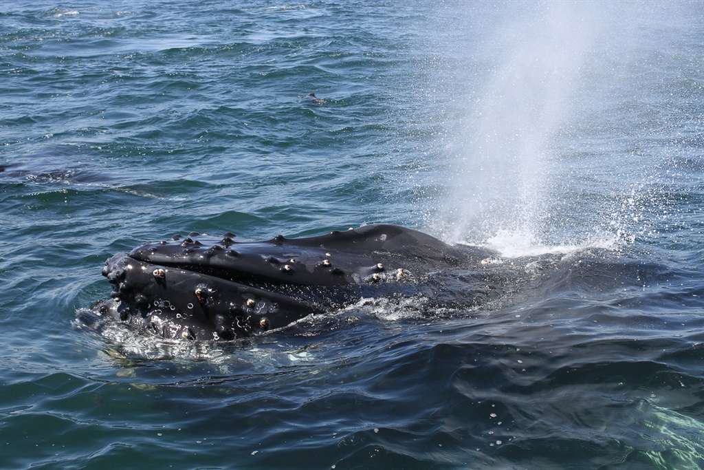 TAKE A LOOK: Massive 'super-groups' of whales are travelling along SA's West Coast