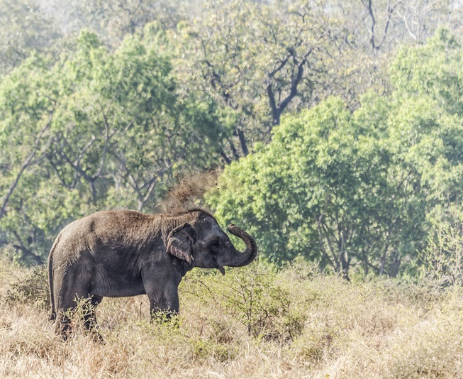 An Indian Elephant, Elephas maximus indicus, blowi