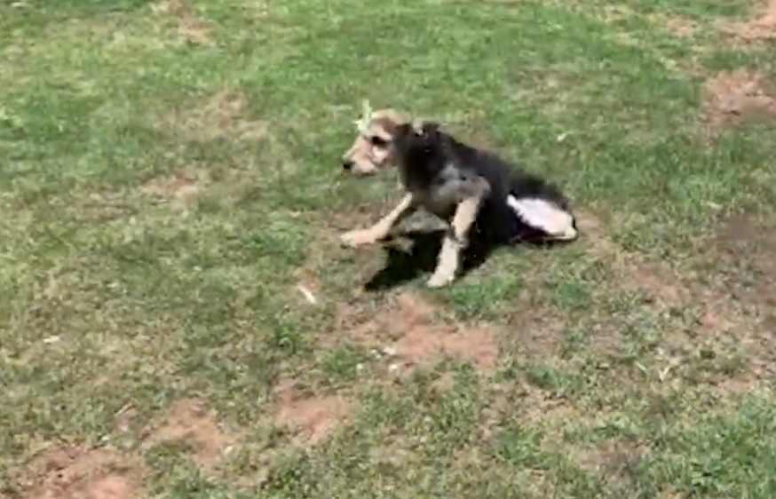 Rover takes his first steps after his leg was amputated after an act of cruelty.