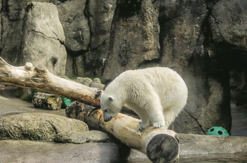 Staff at Oregon Zoo in Portland  felt helpless. After moving there in 2016, Nora struggled to connect with other bears. (Picture: Oregonian Media Group)