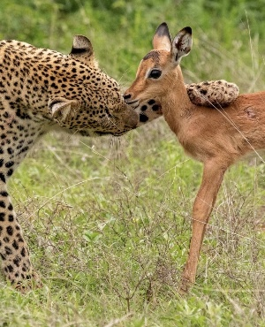 This is the unique moment a leopardess appears to befriend a baby impala. (Photo: Caters News)