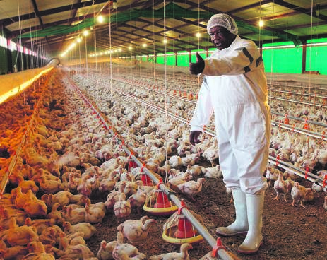 Jabulani Richard Ngwenya of JR Ngwenya Poultry Farm in Charl Cilliers. The government's move to impose tariffs on imported poultry may go a long way towards relieving the trading pressure felt by local producers from cheaply imported chicken. Picture: Supplied/ Gallo images