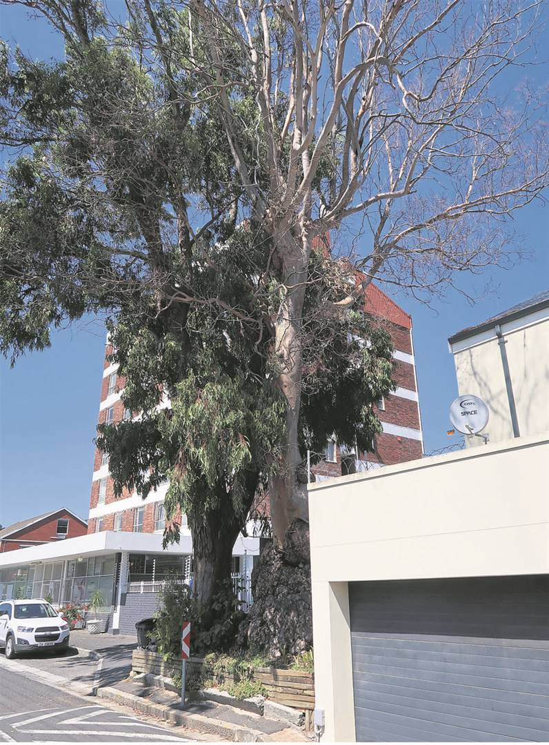The poisoned gum tree on Wessels Road in Kenilworth. The tree will have to be removed.
