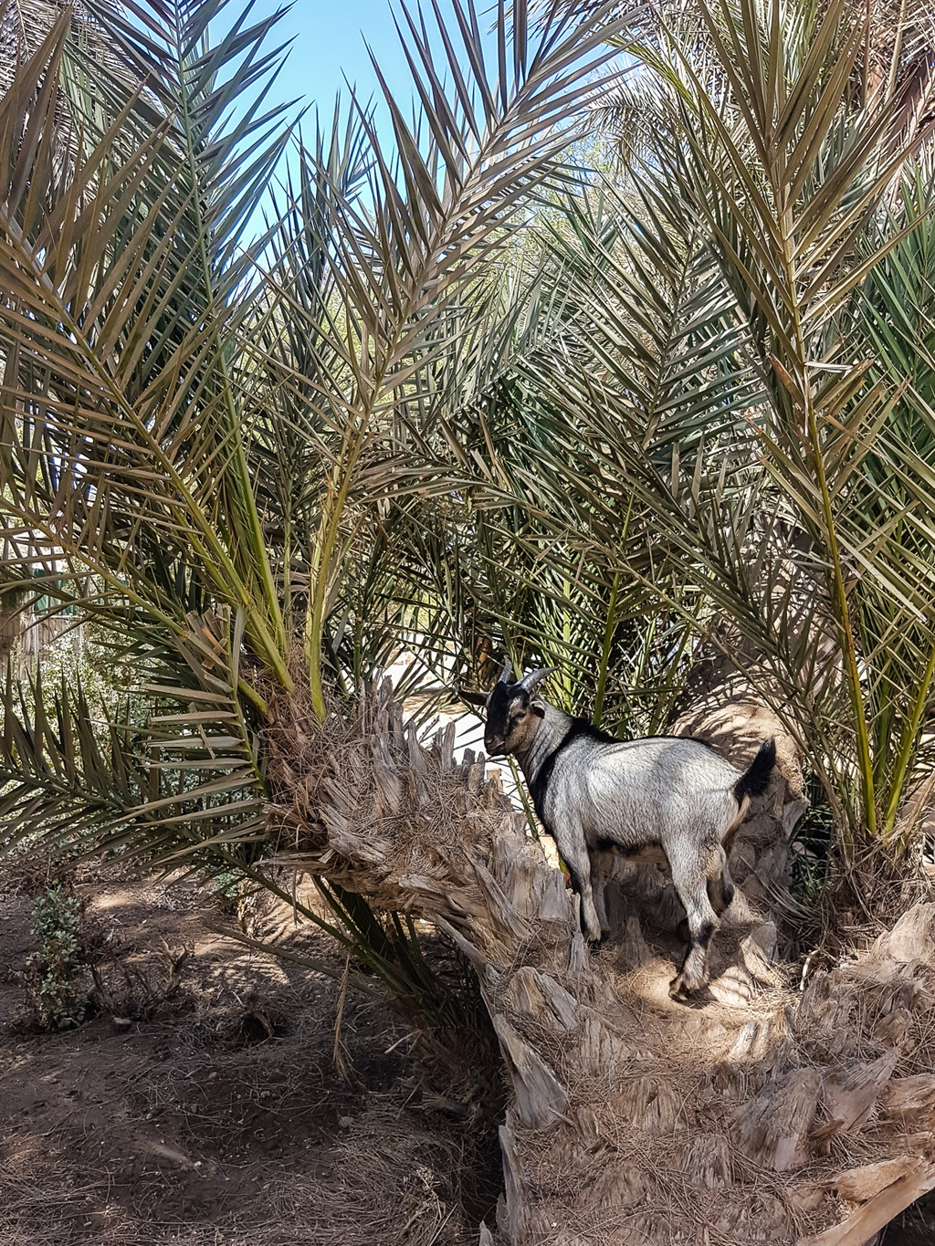 goat standing in a tree
